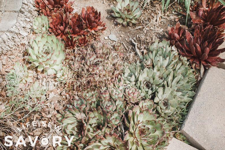 many many succulents